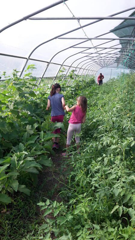 nabiranje zelenjavi na kmetiji